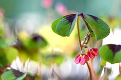 Good luck plant with flowers Stock Photo