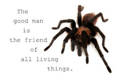 The good man is the friend of all living things - quote with a tarantula Royalty Free Stock Image