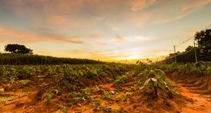 Good moning cassava Royalty Free Stock Image