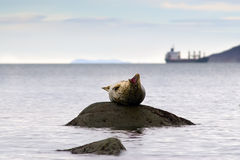 Good morning!. Yawning seal against the backdrop of the setting in the bay of the ship Royalty Free Stock Photo