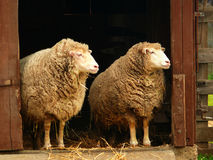 Good Morning America. Two sheep at the barn door in the morning facing a new day royalty free stock photo