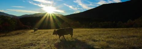 Good morning cow! Stock Photography