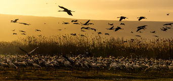 Good Morning Cranes Stock Images