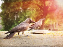 Good Morning crows sitting  in the Morning sunglow. Stock Photography