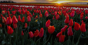 Good morning. Field of tulips touched by the sunrise Stock Images
