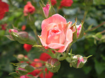 Good morning. Fresh rose flower and buds Stock Photography