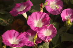 Good Morning Glories. Seven beautiful pink and white morning glory flowers blooming in the early morning light, with a dark green background stock photos
