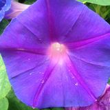 Good morning Glory Royalty Free Stock Photo