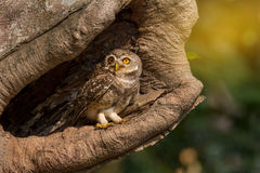 Good morning,have a good day. Spotted owletAthene brama  . Little owl, Spotted owletAthene brama in  hollow tree, looking at the camera Stock Images