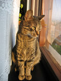 Good morning my neighbour. Tabby cat looking out of a kitchen window Royalty Free Stock Photo