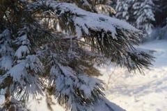 Good morning. The needles of pine. Tree. Royalty Free Stock Photo