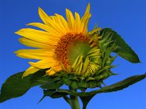 Good morning! (opening sunflower). A half opened sunflower blossom in the morning light Royalty Free Stock Photos