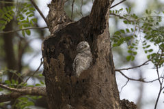 Good Morning Owl. Spotted owlet wake up in it's home Stock Photo