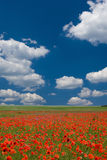 Good Morning SPRING. Big meadow with clouds and poppies royalty free stock images