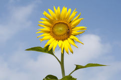 Good morning. Sun flower in the morning Stock Photos