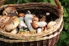 Good mushrooms in the basket Stock Images