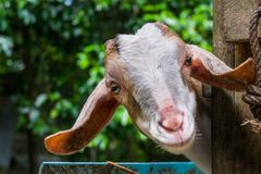 Good-natured goats are happy on the clean farm of the villagers. In thailand royalty free stock images