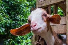 Good-natured goats are happy on the clean farm of the villagers. In thailand stock photos