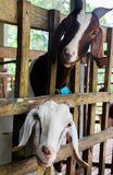 Good-natured goats are happy on the clean farm of the villagers. In thailand stock photography