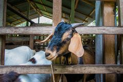 Good-natured goats are happy on the clean farm of the villagers. In thailand royalty free stock image