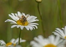 Good News Bee feeding on a white Daisy Flower. Royalty Free Stock Photography