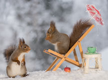 Good place to sit. Close up of red squirrel standing on a chair with a cup , table and apple with another squirrel beneath Royalty Free Stock Images
