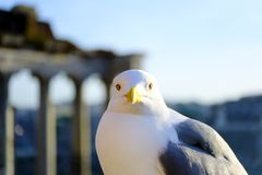 Straight confident look, bird. Good quality close up portrait of a seagull. White bird with bright yrllow beak and light grey wings watching straight on you. It Royalty Free Stock Photography