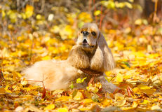Good, red, shaggy dog spaniel lying on autumn leaves Stock Images