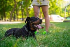 Good Rottweiler lying on a lawn Stock Photos