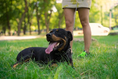 Good Rottweiler lying on a lawn Stock Image