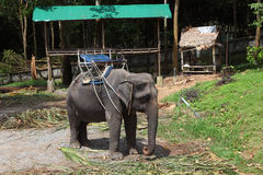 Good trained elephant for tourists. Good trained elephants with special seating area for tourists on their backs stock photo
