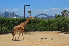 A giraffe surrounded with abundant green trees in Taronga Zoo with Sydney harbour bridge in the background