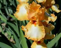 Good Vibrations Bearded Iris stock photos