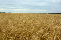 Good yield of wheat. Field of wheat Royalty Free Stock Image