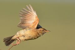 Goodbye. Rufousnaped lark taking off from dead shrub Stock Photography