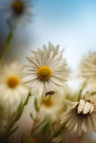 Goodbye, Summer!. Some beautiful daisies and bee flies past them Royalty Free Stock Photos