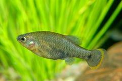 Goodeid fish Royalty Free Stock Photography