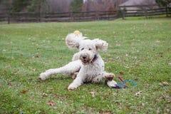 Goodendoodle-Hund, der im Yard mit Spielzeug spielt lizenzfreies stockfoto