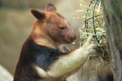 Goodfellow的结构树袋鼠 库存图片