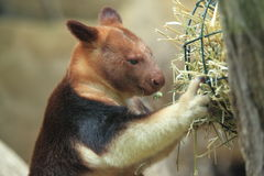 Goodfellow's tree-kangaroo Stock Images