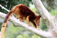 Goodfellow`s tree-kangaroo. A baby Goodfellow`s tree-kangaroo climbs a tree in Papua New Guinea Royalty Free Stock Photography