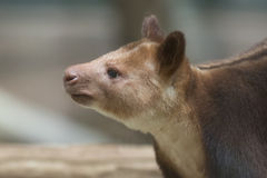 Goodfellow's tree-kangaroo Royalty Free Stock Photos