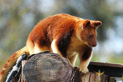 Goodfellows Tree Kangaroo (Dendrolagus Goodfellowi) Royalty Free Stock Images