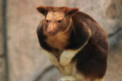 Goodfellow's tree-kangaroo Stock Photography