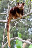 Goodfellow`s tree-kangaroo in tree. This tree kangaroo in Papua New Guinea sits on a tree branch with its long tail hanging down Stock Photography
