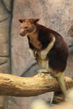 Goodfellow tree-kangaroo. Sitting on the wood Royalty Free Stock Image