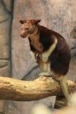 Goodfellow tree-kangaroo Royalty Free Stock Image