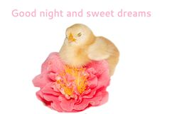 Goodnight card with sleeping chick. On the camelli flowers Royalty Free Stock Photography
