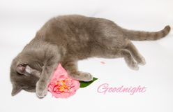 Goodnight card. White goodnight card with cat and pink camellia Royalty Free Stock Photos