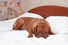 Goodnight Dog. Big Goodnight Dog on Bed Stock Images